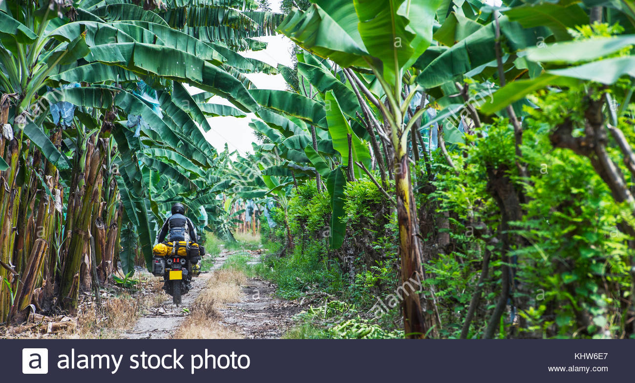 Man riding touring motorbike through banana plantation, Machala, El Oro, Ecuador, South America - Stock Image