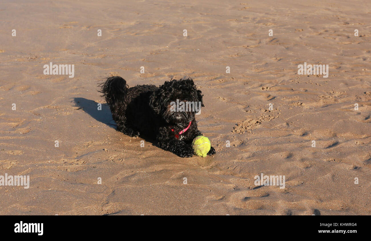 Black dog playing with ball on beach - Stock Image