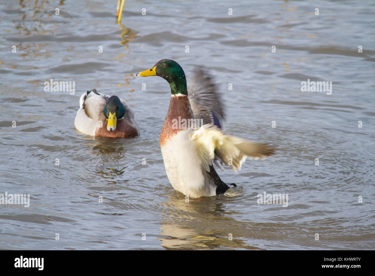 Two male Mallards (Anus platyrhynchos) on a pool in autumn with one raising up and flapping its wings. Stock Photo