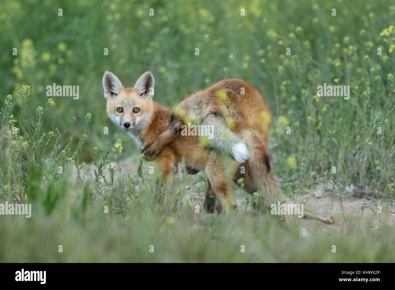 Red fox pups playing in the Bighorn Basin of Wyoming - Stock Image