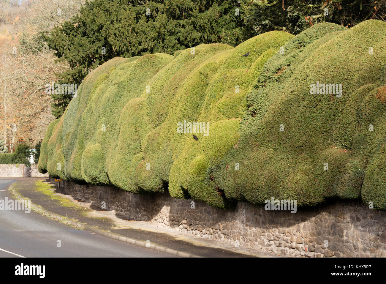 The ancient Yew hedge in the village of Brampton Bryan, Herefordshire - Stock Image