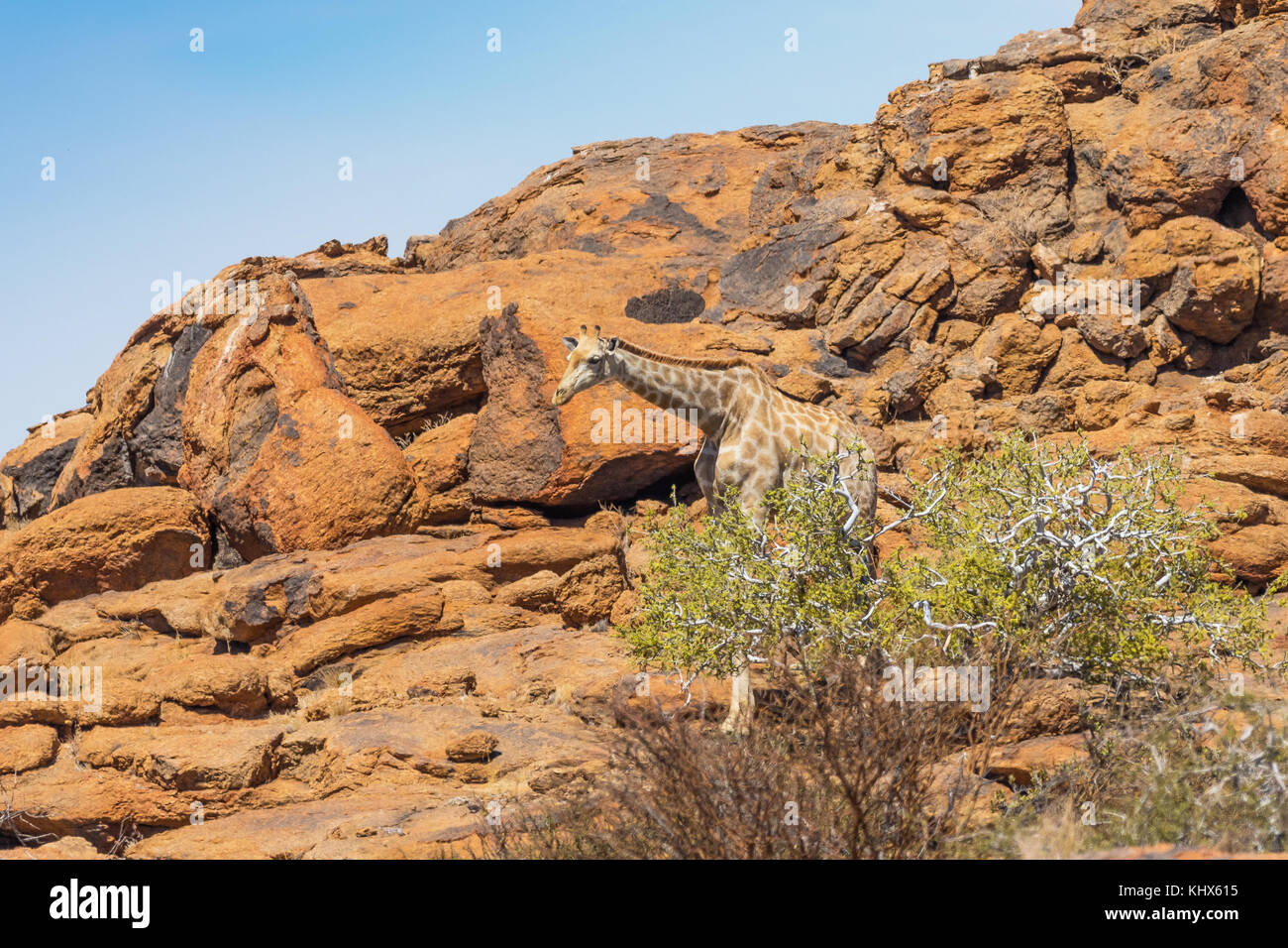 A giraffe in the arid environment of Augrabies Falls National Park in South Africa. - Stock Image