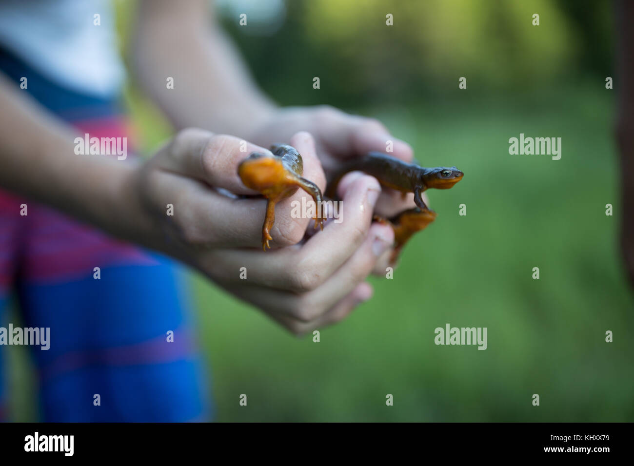 Person holding newts, close-up Stock Photo