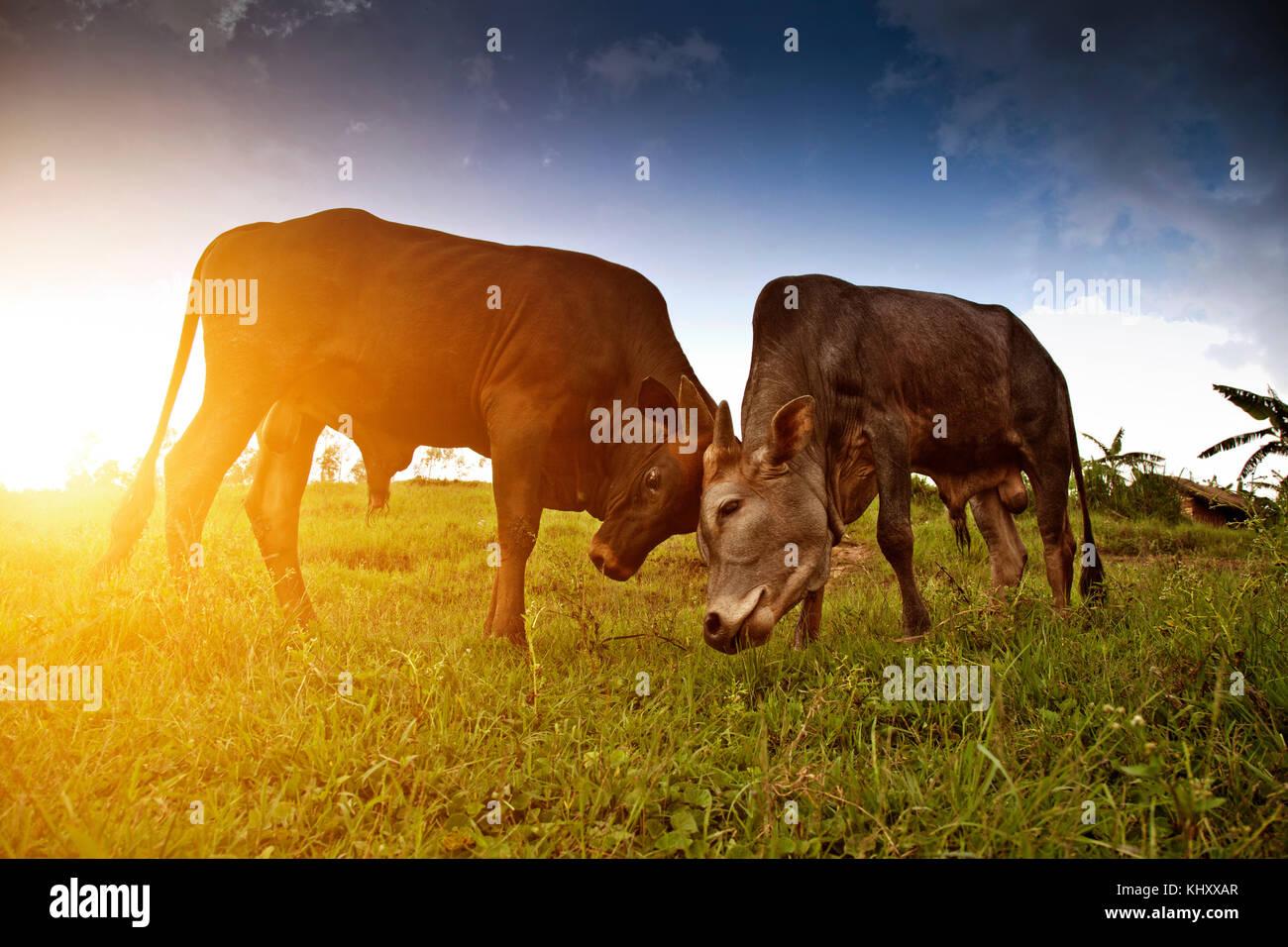 Two cows grazing in field, Birayi, Bujumbura, Burundi, Africa - Stock Image