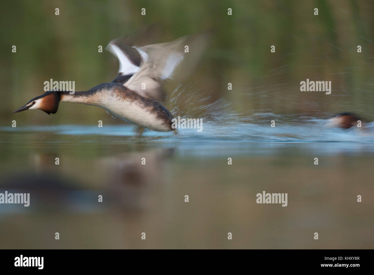 Great Crested Grebes ( Podiceps cristatus ) in fight, territorial behaviour, chasing a rival, running fast over - Stock Image