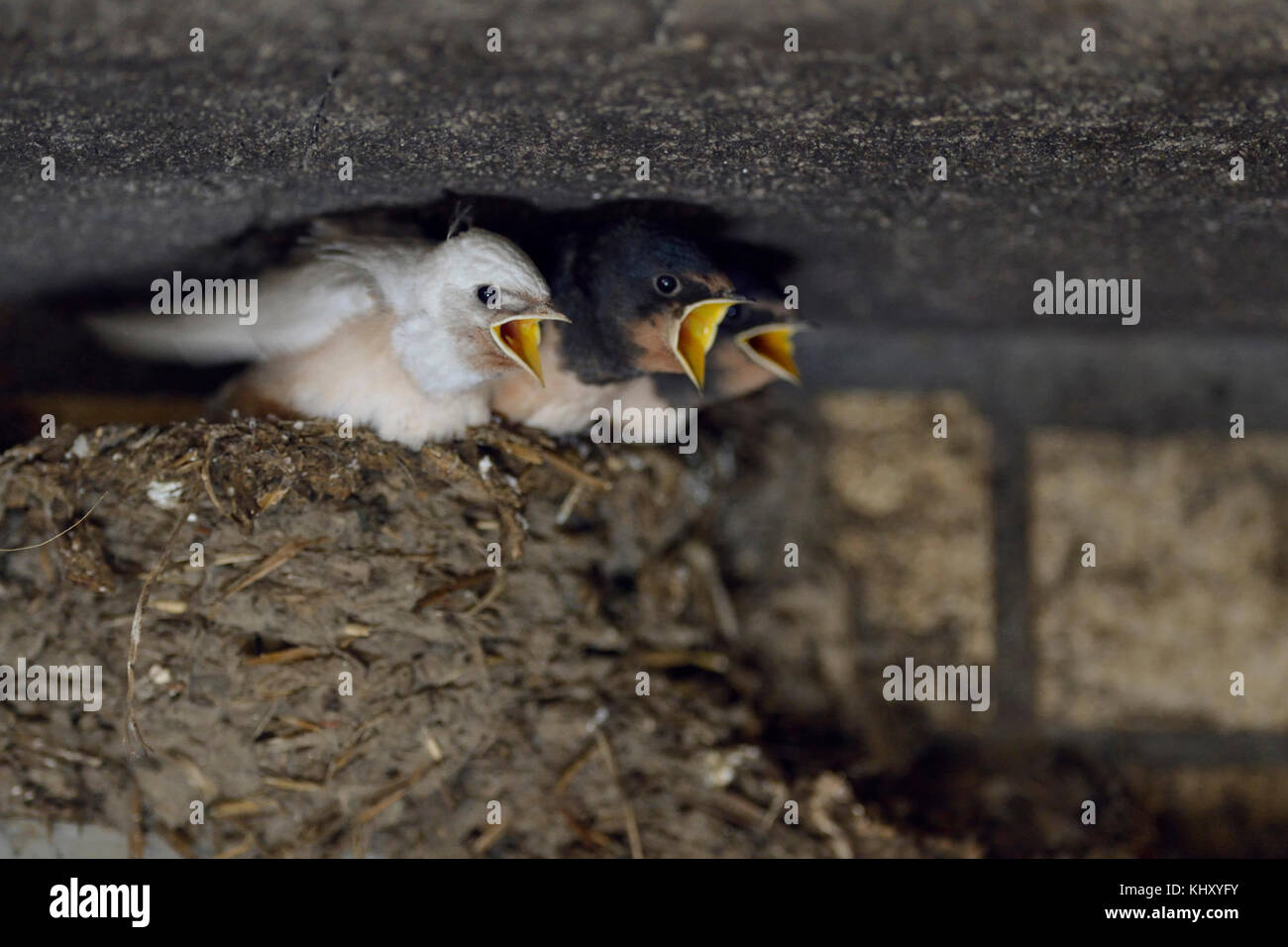 Barn Swallows ( Hirundo rustica ), chicks in nest, almost fledged, one with a rare gene defect, white plumage, leucistic, - Stock Image