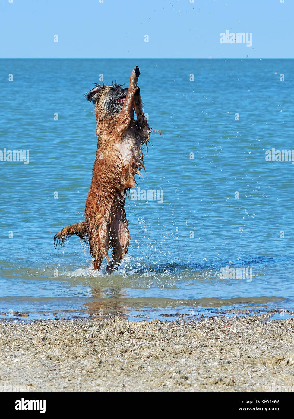 Small Pyrenean sheep dog stands on its hind legs on the seashore - Stock Image