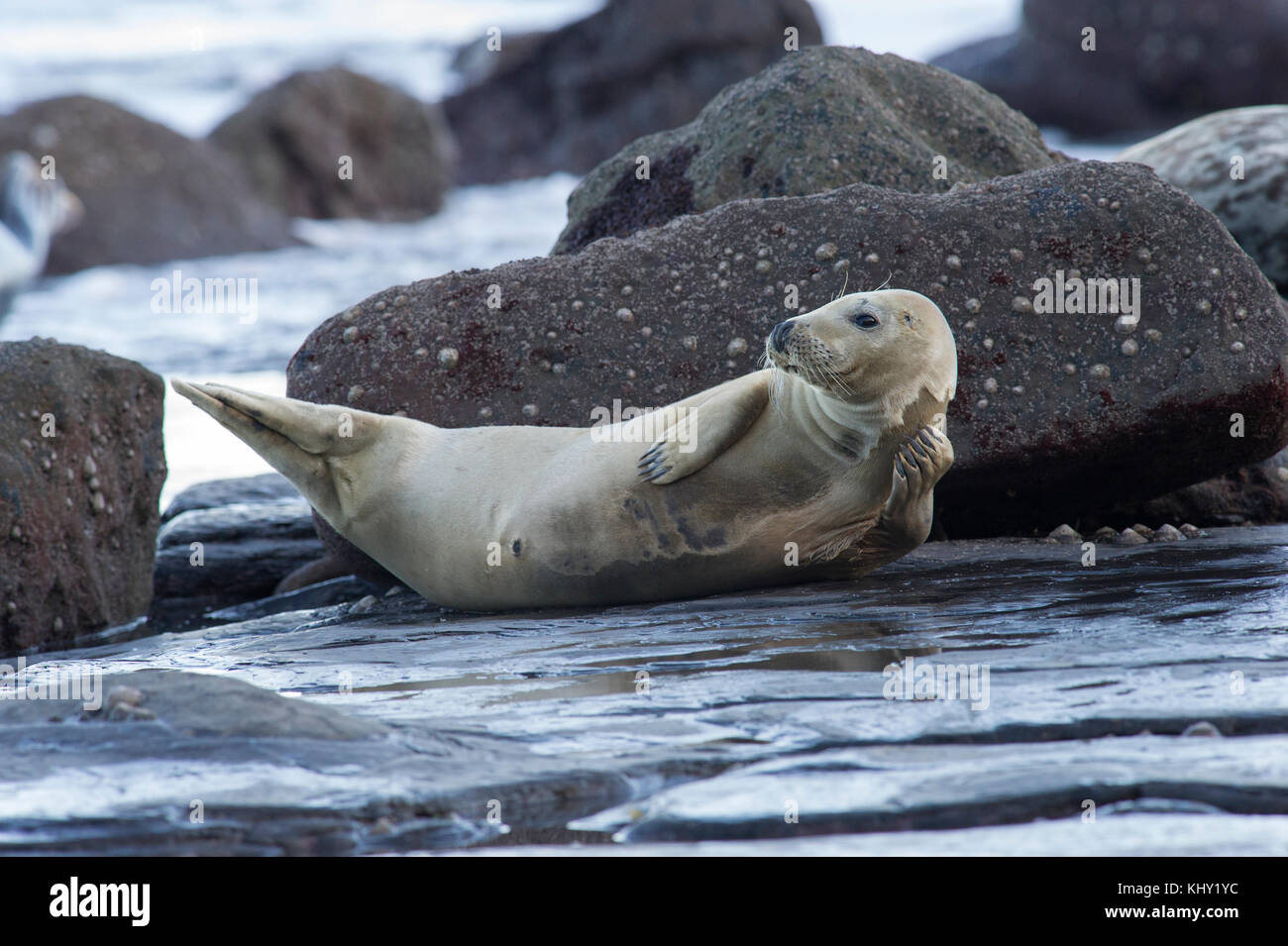 A Grey Seal (Halichoerus grypus) on the rocky beach below Ravenscar at Robin Hoods Bay, Whitby on the North Yorkshire Stock Photo