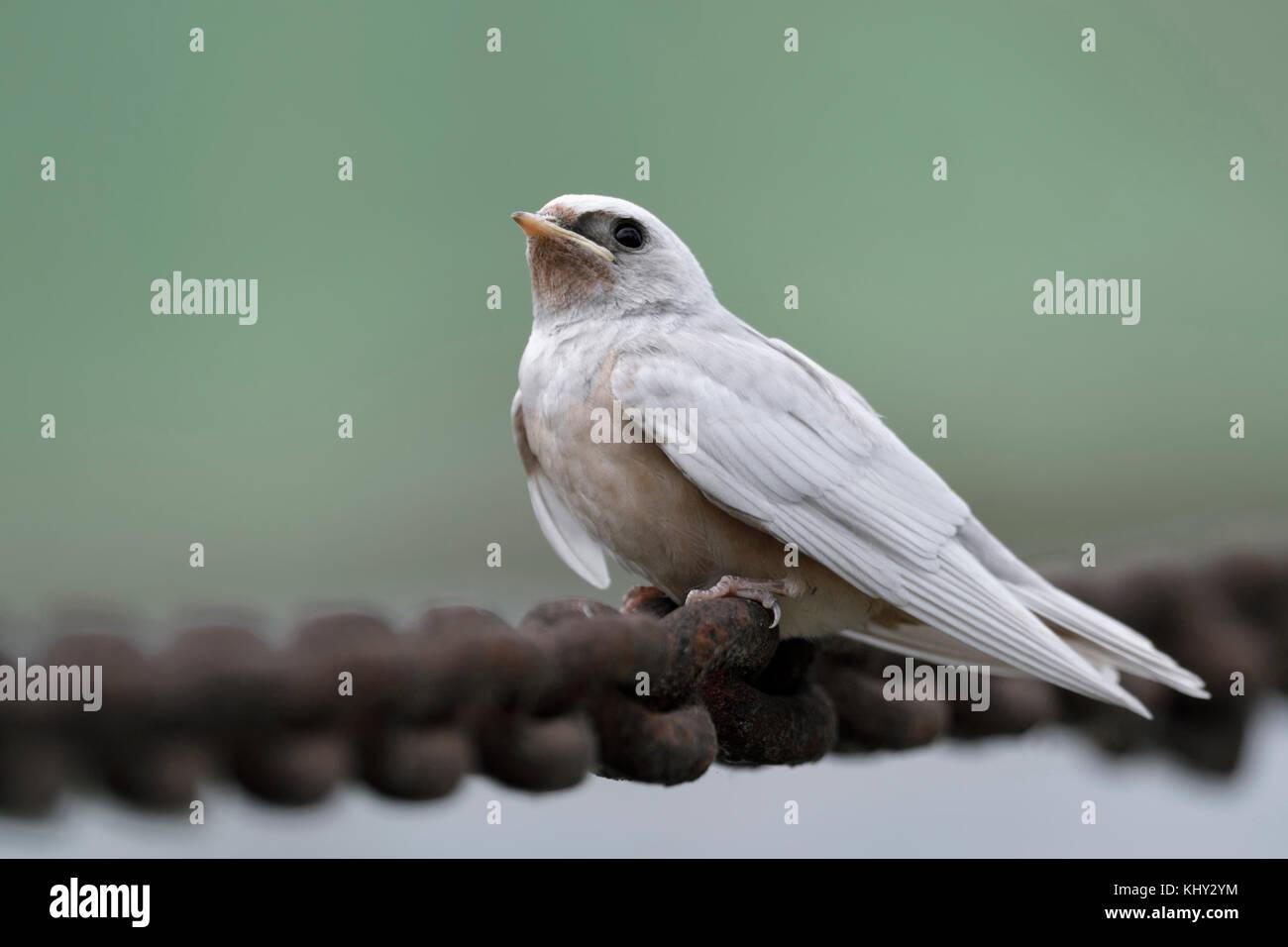 Barn Swallow ( Hirundo rustica ), just fledged, gene mutation, white plumage, leucistic, leucism, perched on a massive - Stock Image