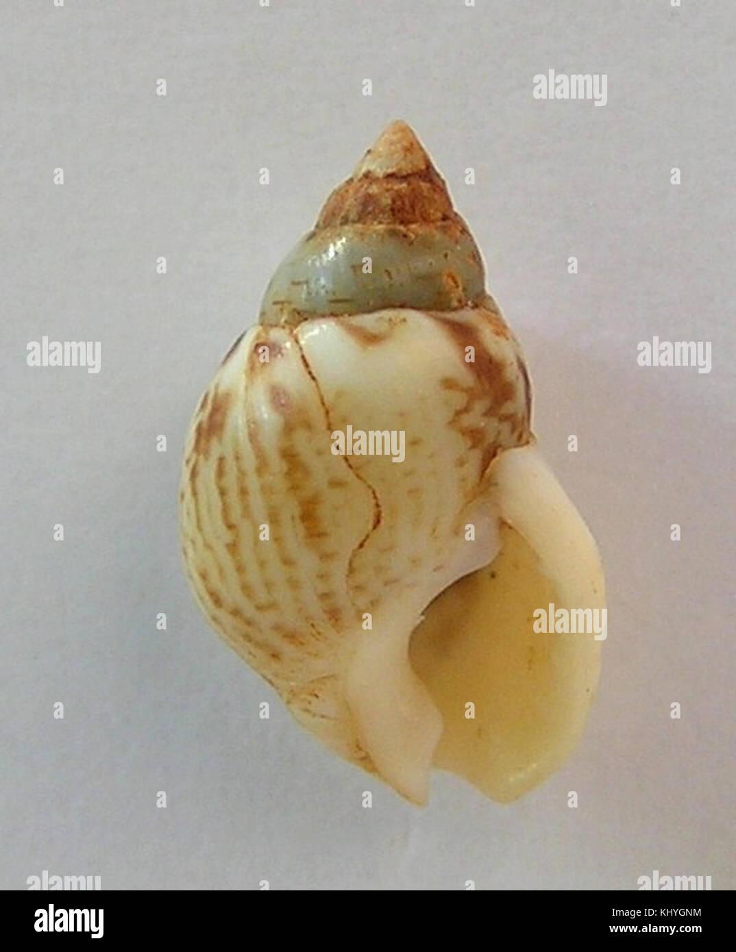 Nassarius pfeifferi 001 Stock Photo