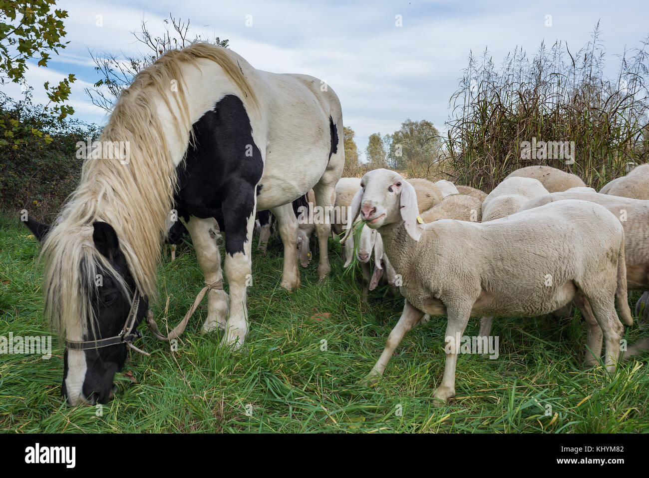 Reportage of Sheep-farming in the Bergamasca plain. Brambilla Simone Live News - Stock Image