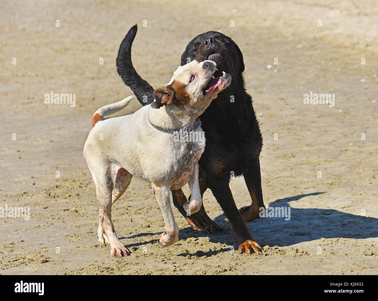 fighting rottweiler and boxer on the beach - Stock Image