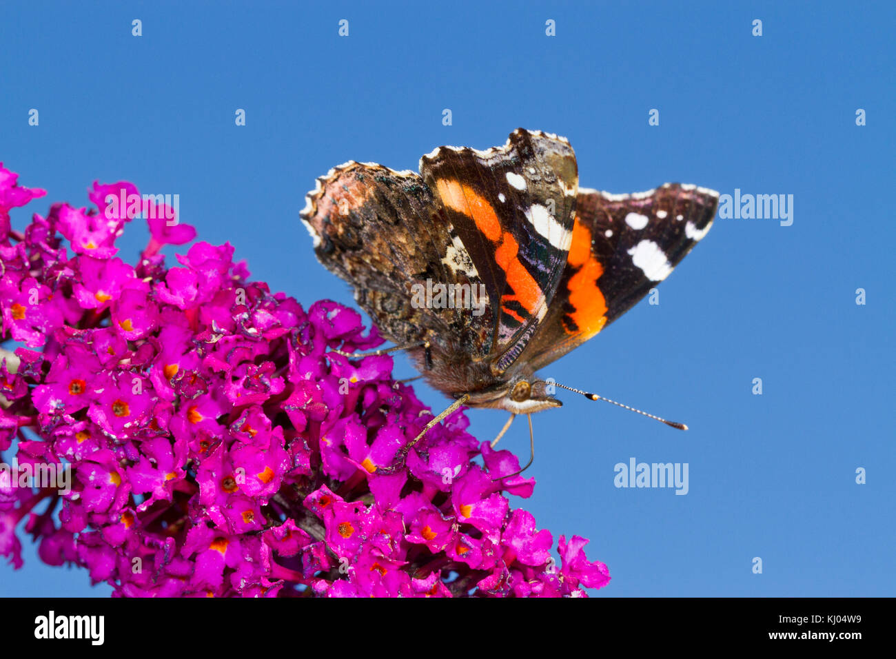 Red Admiral butterfly (Vanessa atalanta) adult feeding on Buddleia 'Royal Red' in a garden. Powys, Wales. August. Stock Photo