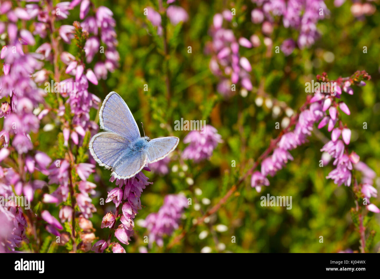 Common Blue butterfly (Polyommatus icarus) adult male feeding on Heather (Calluna vulgaris) flowers. Powys, Wales. - Stock Image