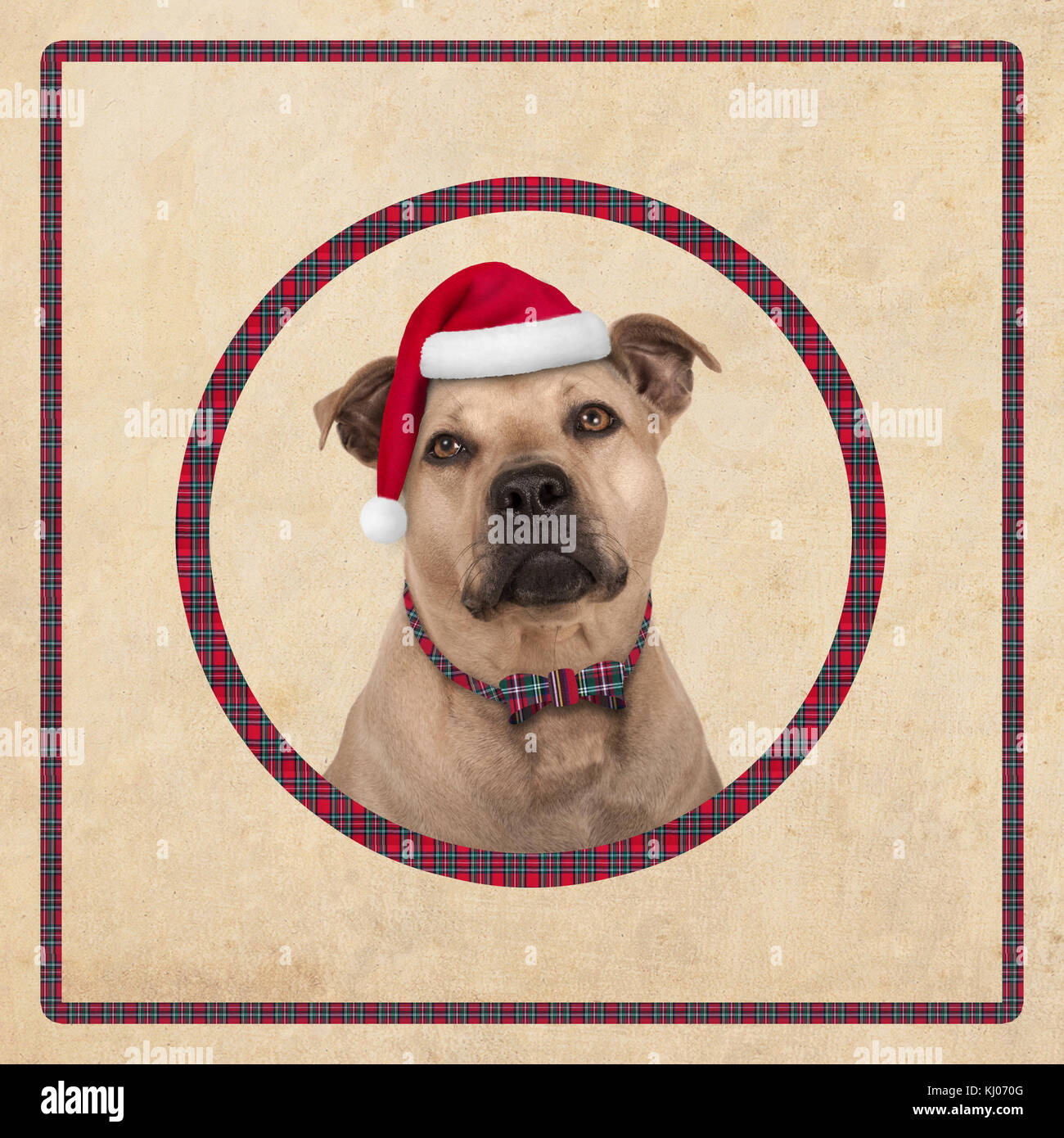 cute terrier dog in circle with red plaid pattern, on old vintage paper background, christmas card design - Stock Image