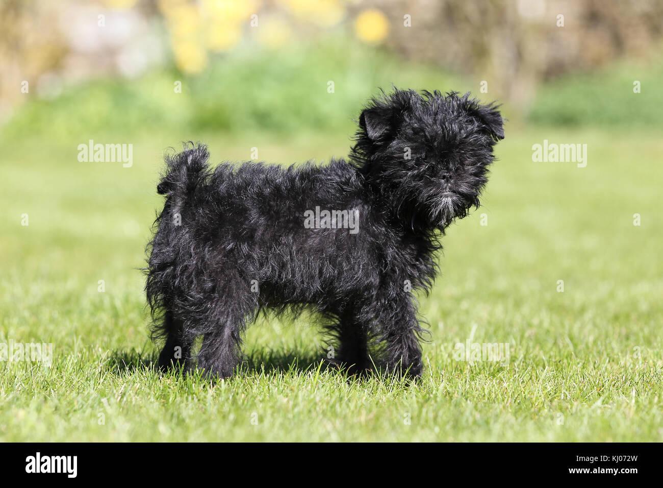 Affenpinscher Puppy Stock Photo 165962689 Alamy