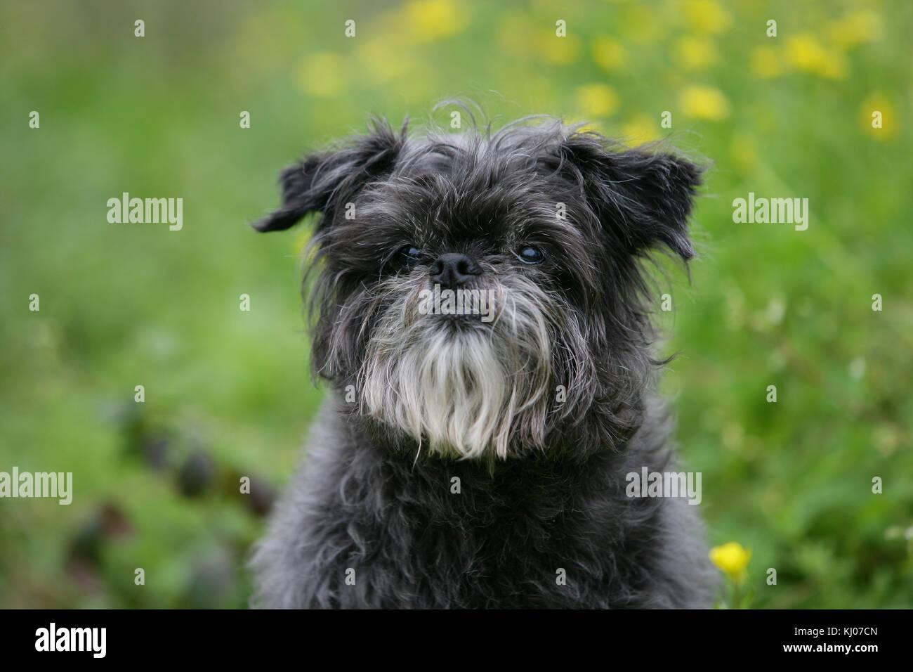 affenpinscher stock photo 165962965 alamy