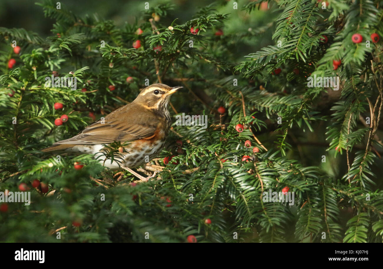A stunning Redwing (Turdus iliacus) perched in a yew tree amongst the berries which it has been eating. - Stock Image