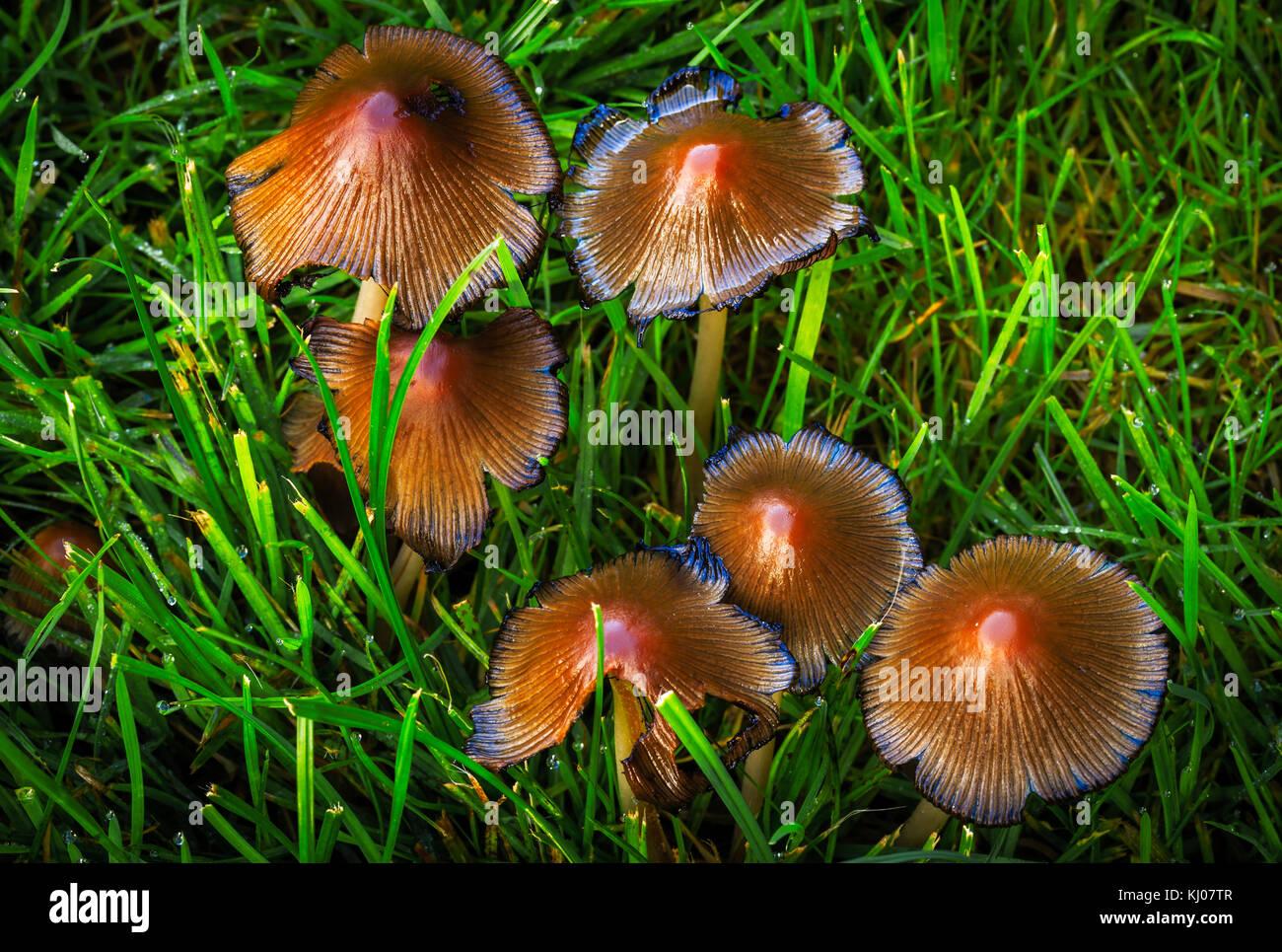 Glistening inky cap Coprinellus micaceus - Stock Image