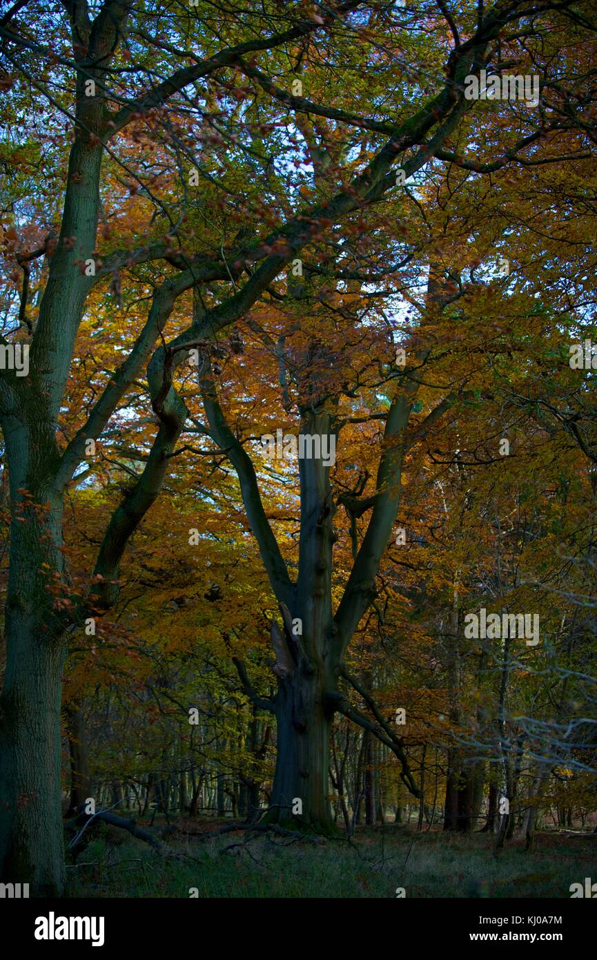 Ashridge Forest - Stock Image