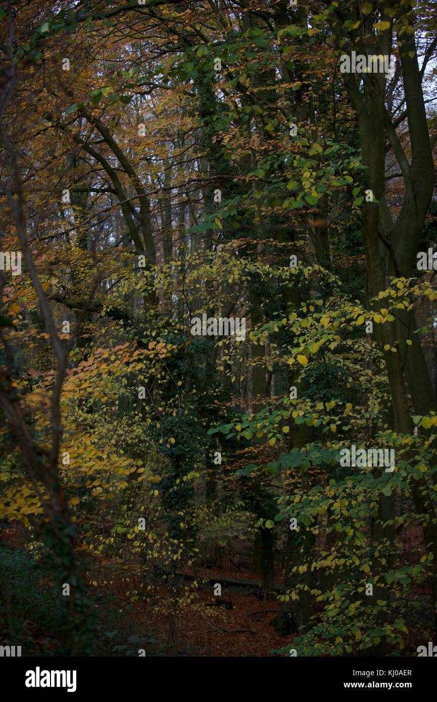 Ashridge Forest - Stock Image