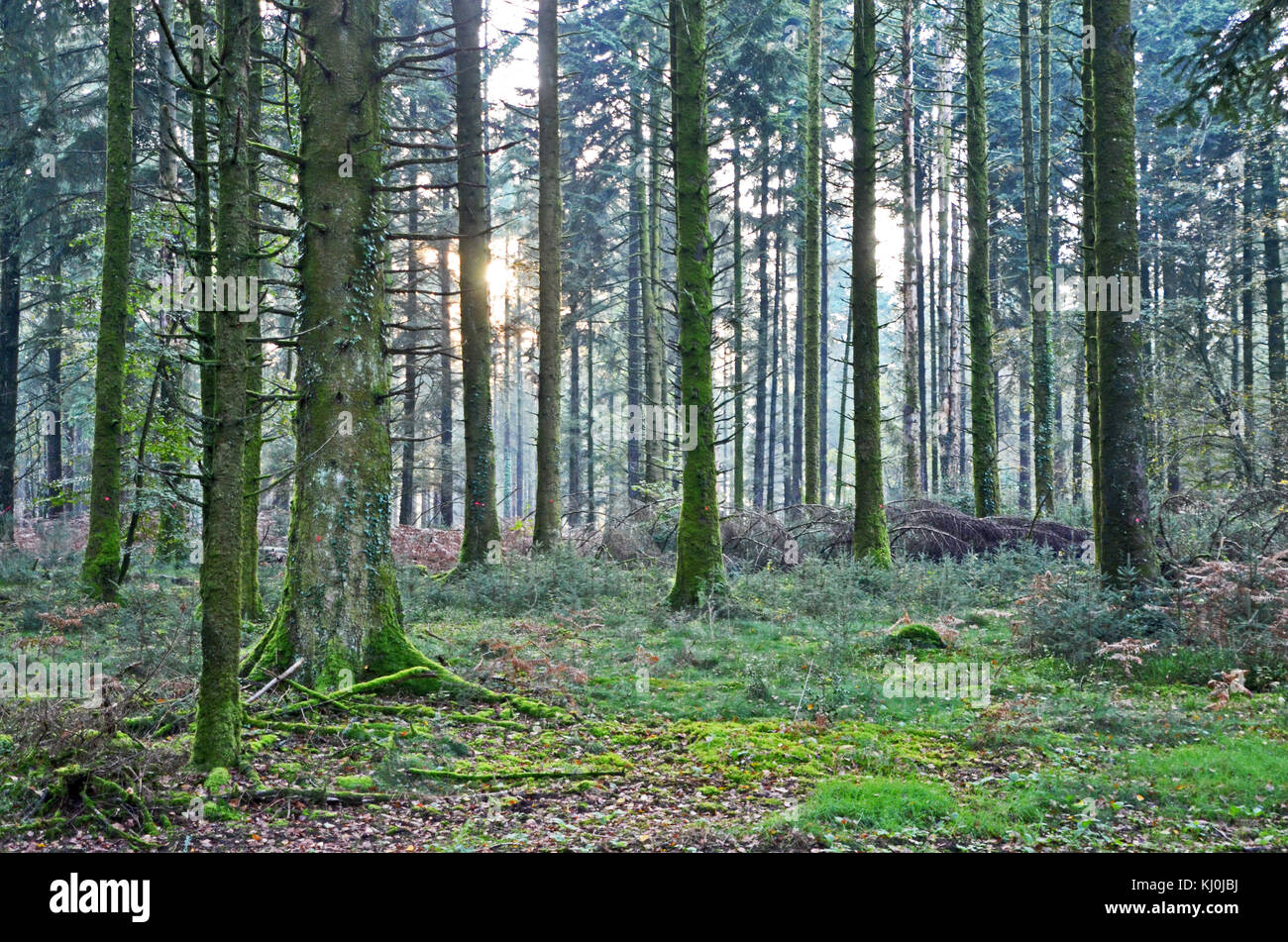 Trees in the Forest of Saint-Sever, Normandy, France - Stock Image