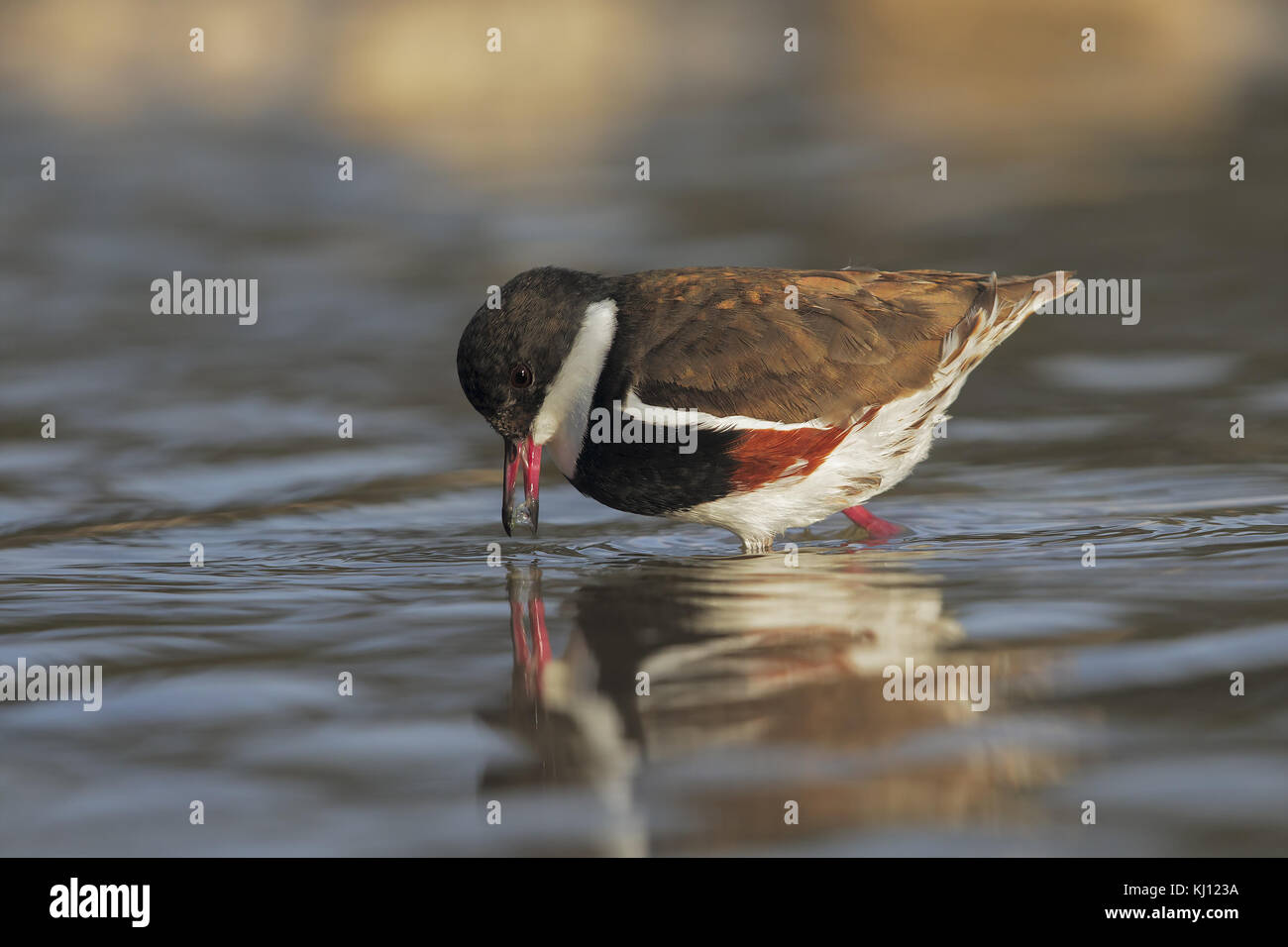 Red-kneed Dotterel - Stock Image