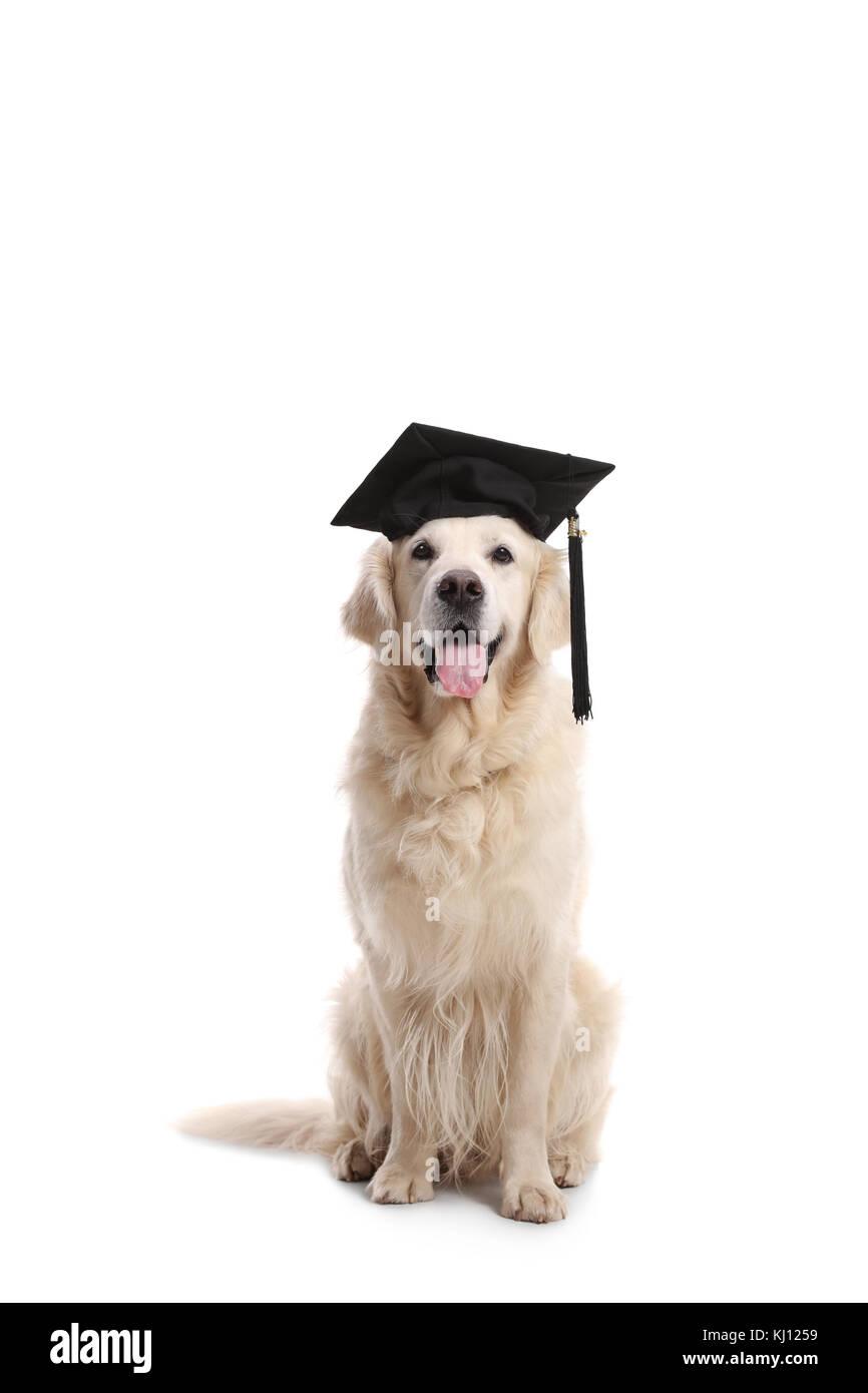 Golden Retriever Dog Graduation Cap Stock Photos Golden Retriever