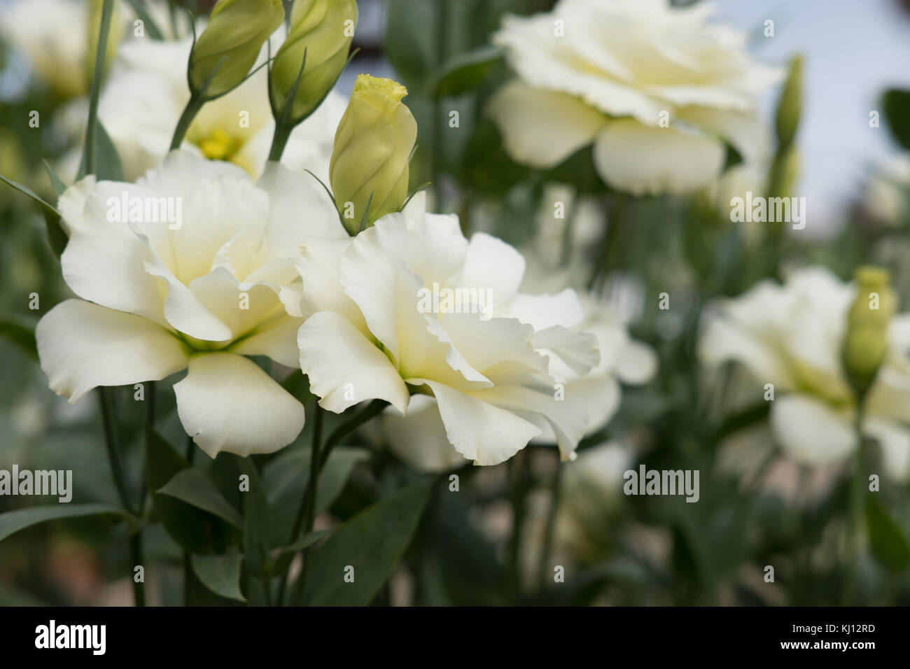 bouquet of blooming white Lisianthus Russelianus in garden. rose-like flower - Stock Image