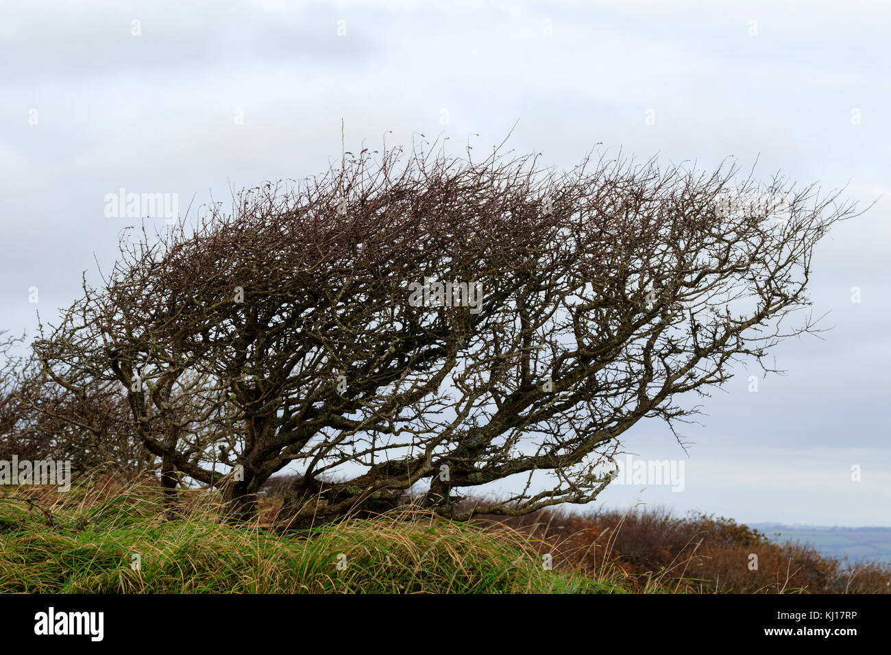 Winter bare, wind sculpted hawthorn, Crataegus monogyna, on the cliffs of Sharp Tor above Salcombe, South Devon, - Stock Image