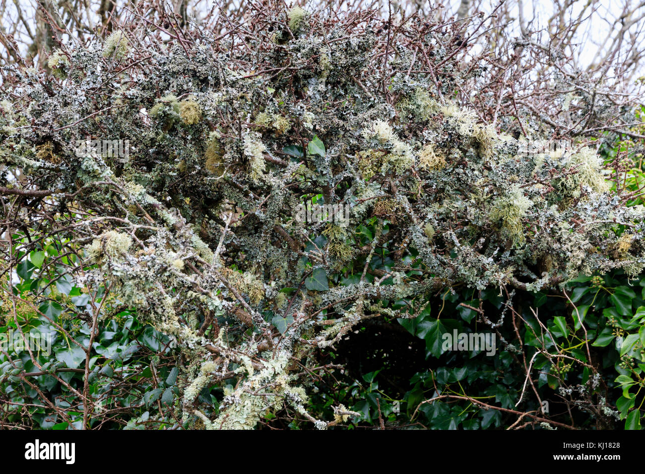 Heavily lichen encrusted branches of a blackthorn shrub in a South Devon hedgerow testify to the clean air of the - Stock Image