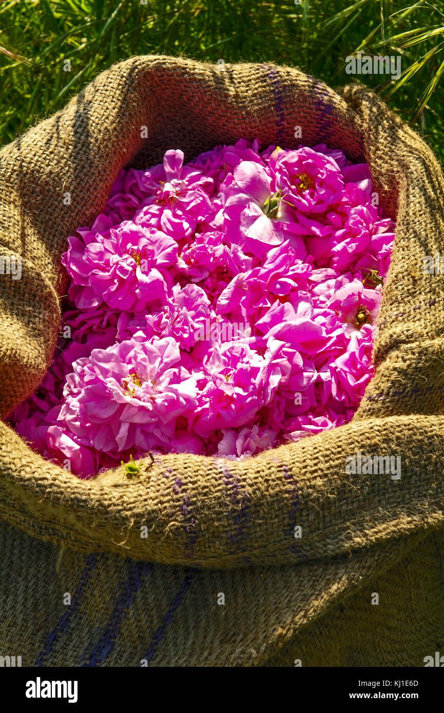 Var (83), village de Fayence. Récolte des roses de mai ou roses centifolia // France. Var (83), village of - Stock Image