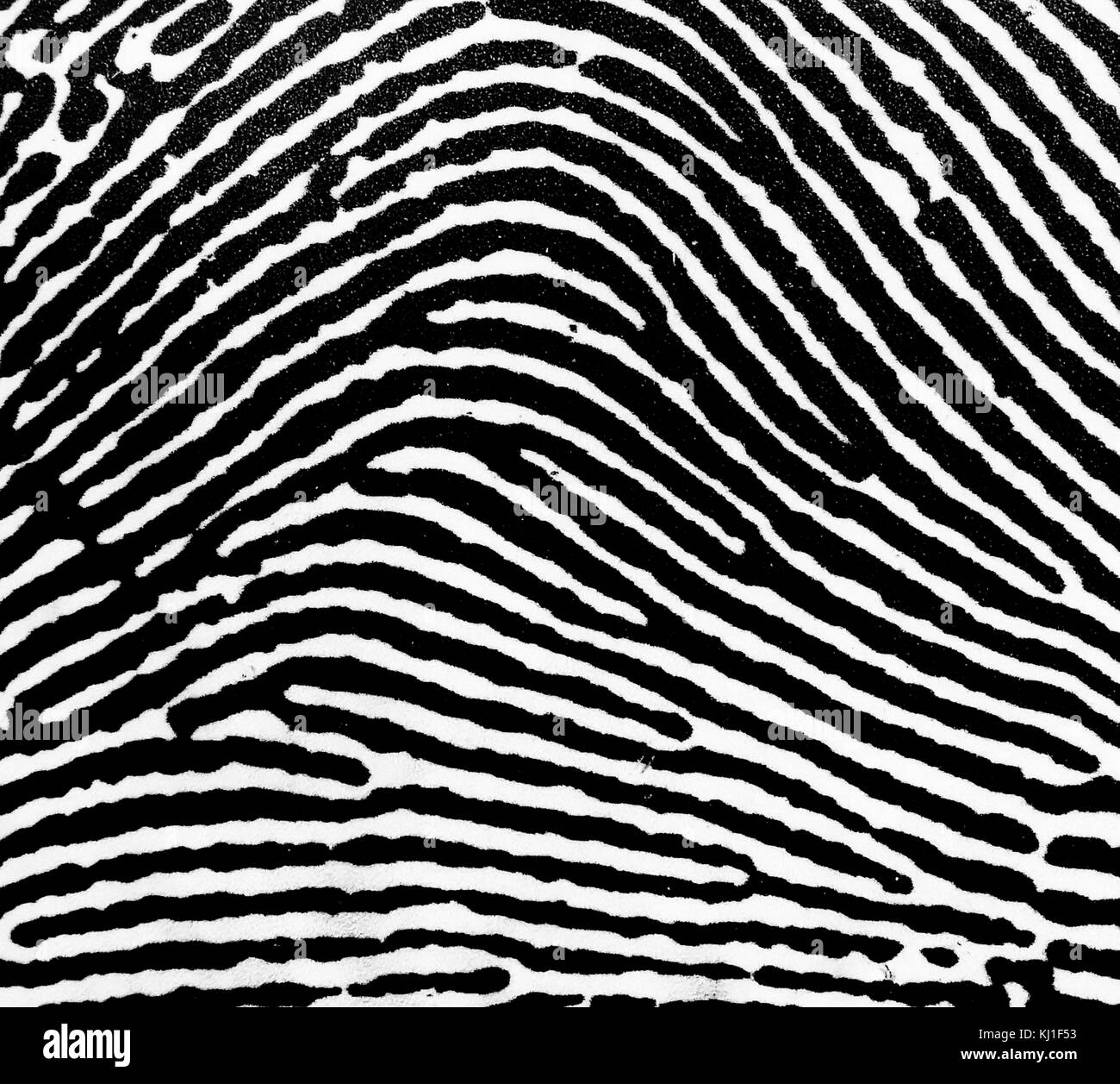 A Loop fingerprint. Fingerprints are an impression left by the friction ridges of a human finger. The recovery of - Stock Image