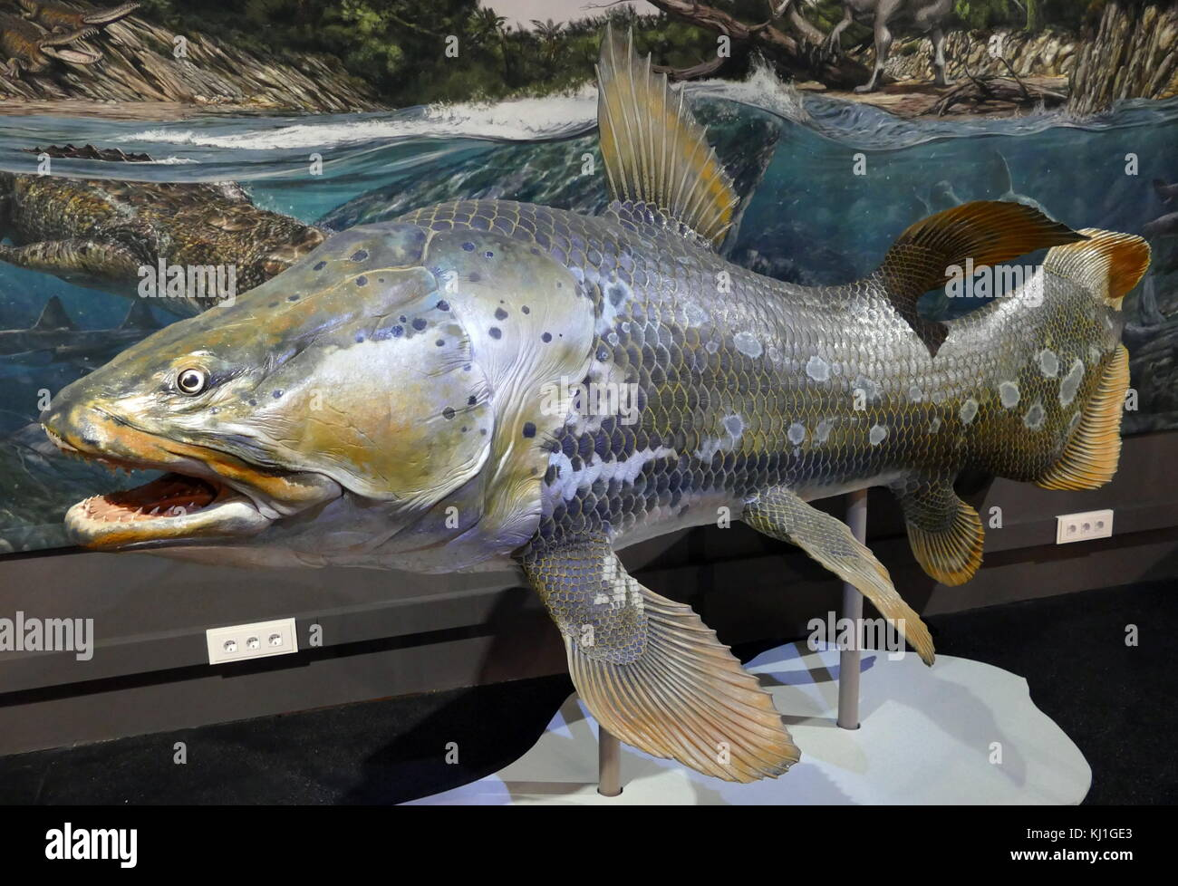 Mawsonia lavocati was an extinct genus of prehistoric coelacanth fish, and the largest of this group, up to several - Stock Image