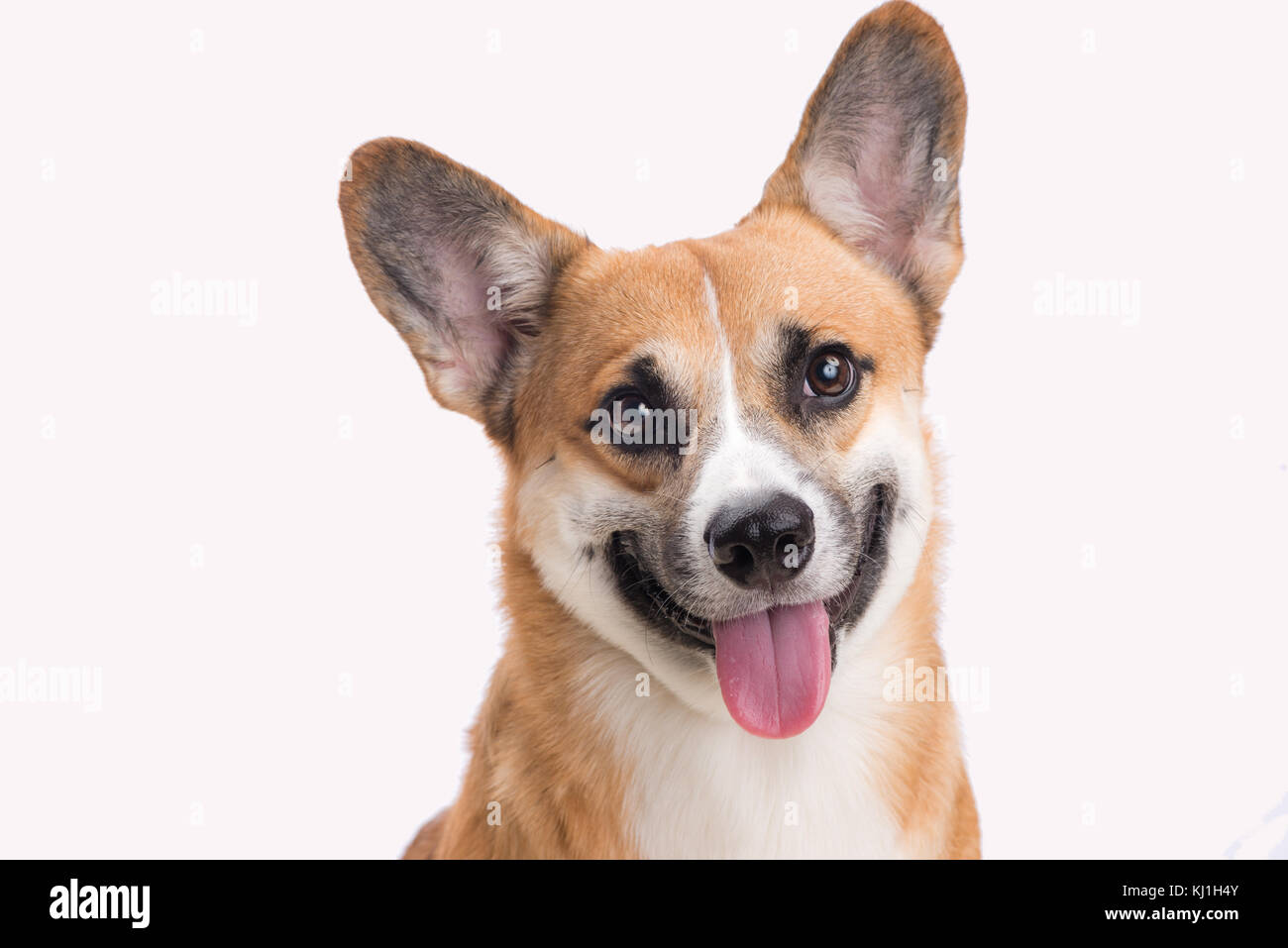 Portrait of a Welsh corgi Pembroke dog in studio in front of a white background - Stock Image