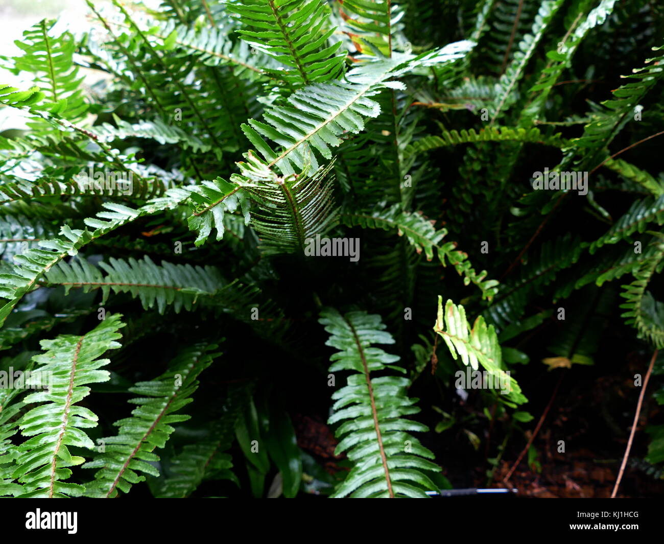 A fern is a member of a group of about 10,560 known extant species vascular plants that reproduce via spores and - Stock Image