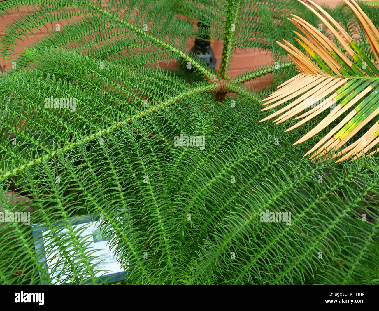 The Pinophyta, also known as Coniferophyta or Coniferae, or commonly as conifers, are a division of vascular land - Stock Image