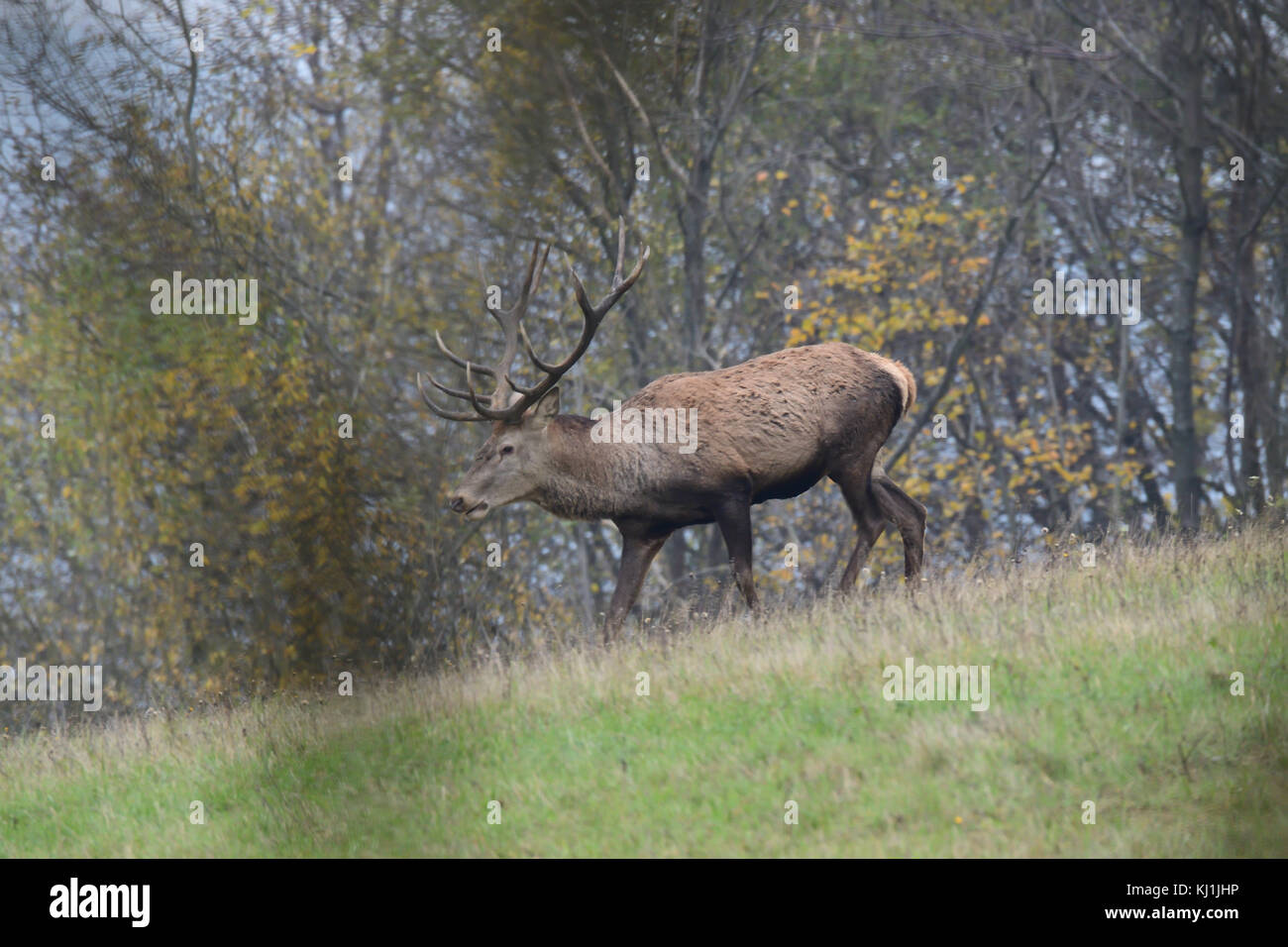 portrait of forest stag during the pairing season - Stock Image