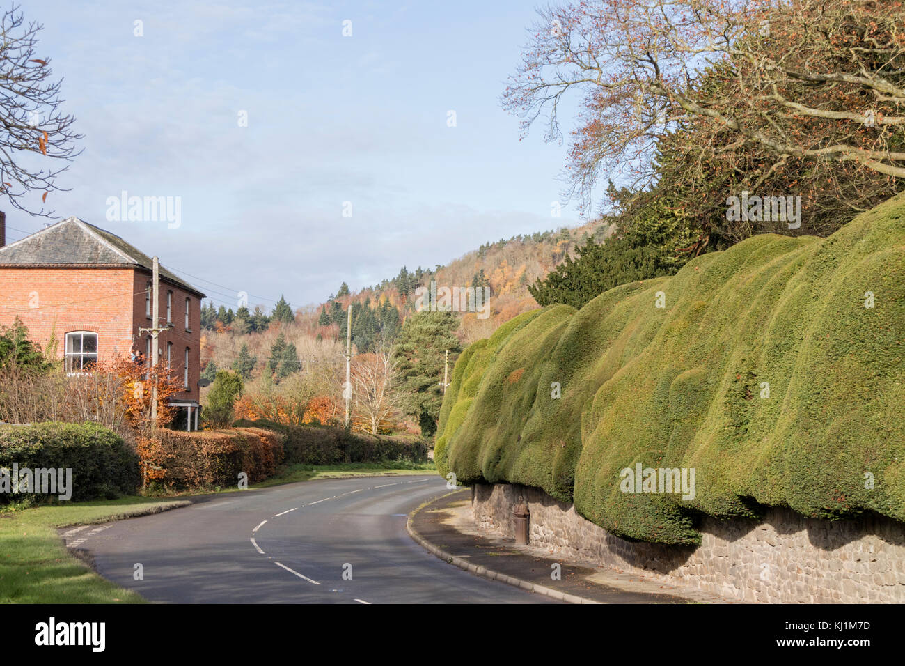 The ancient Yew hedge in the village of Brampton Bryan, Herefordshire, England, UK - Stock Image