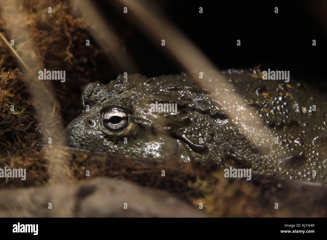 A toad sits in water - Stock Image