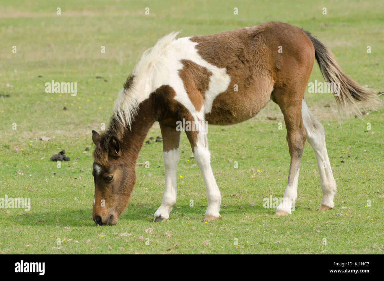 New Forest Ponies out grazing one of the popular sites around Hampshire - Stock Image