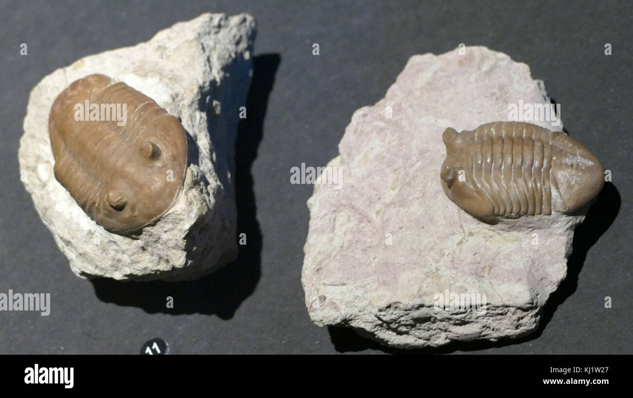 Remains of an animal preserved as a fossil. - Stock Image