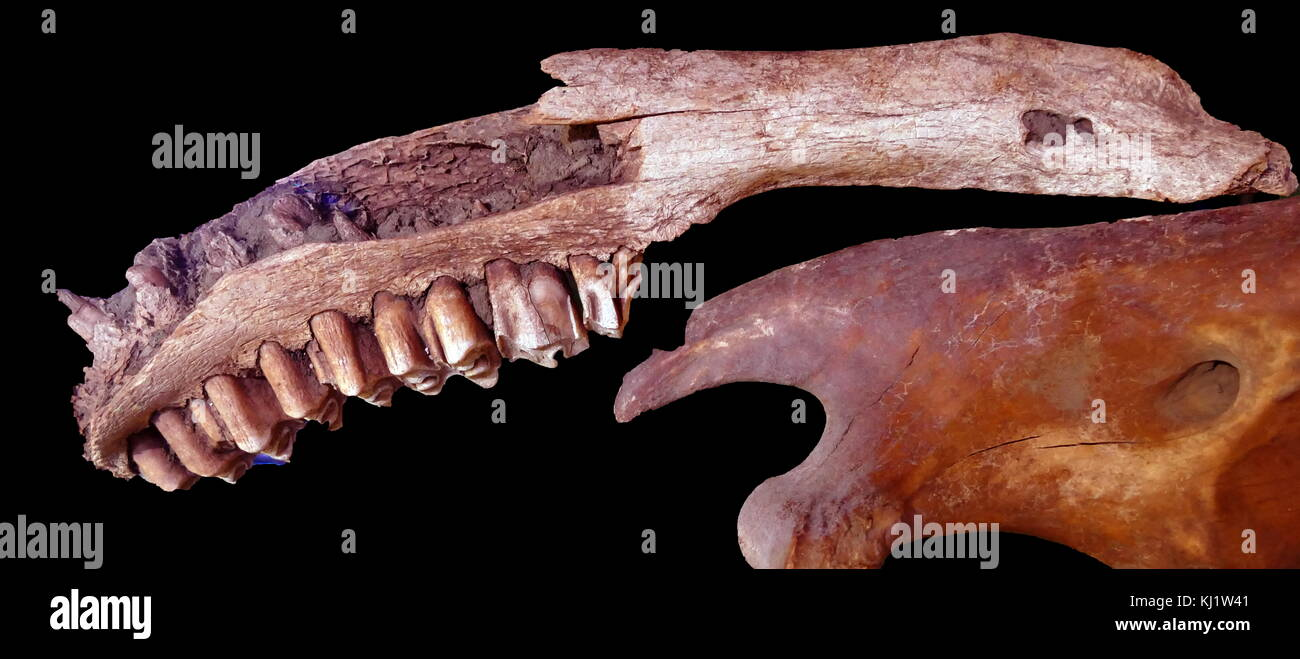 Bones of a primitive horse dating back 10,000 years. - Stock Image