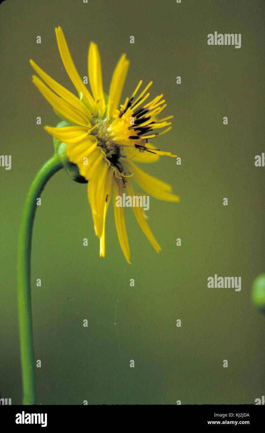 Prairie dock plant yellow flower with yellow and black center stock prairie dock plant yellow flower with yellow and black center silphium terebinthinaceum mightylinksfo