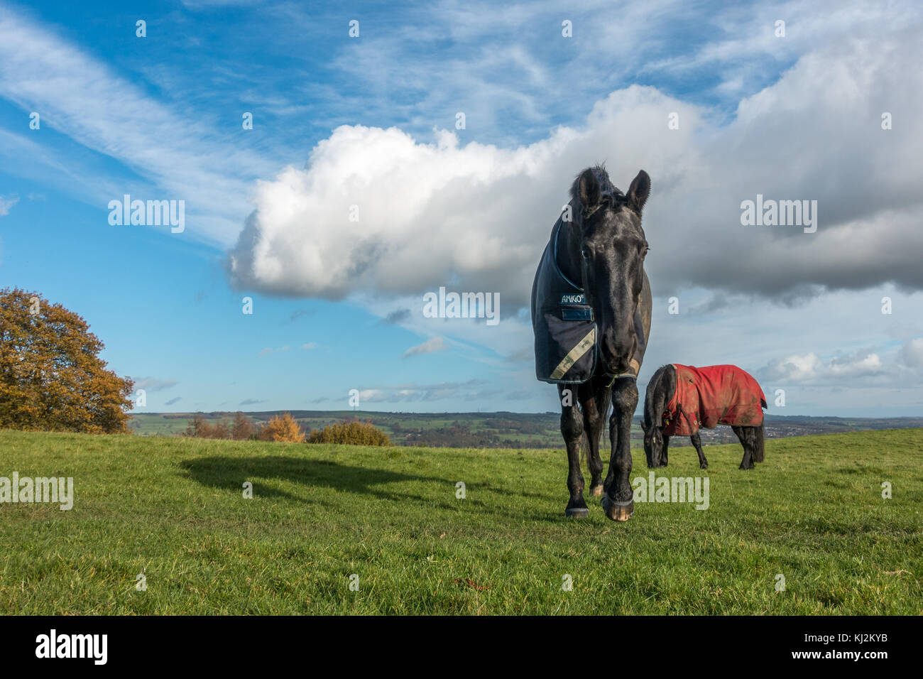 Two horses in a field on a sunny cold day wearing Amigo horse coats - Stock Image
