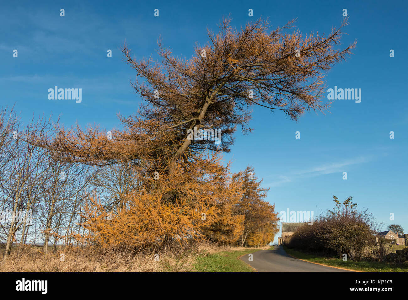 A row of European Larch trees in autumn gold colour against a clear blue sky, November 2017 with copy space - Stock Image
