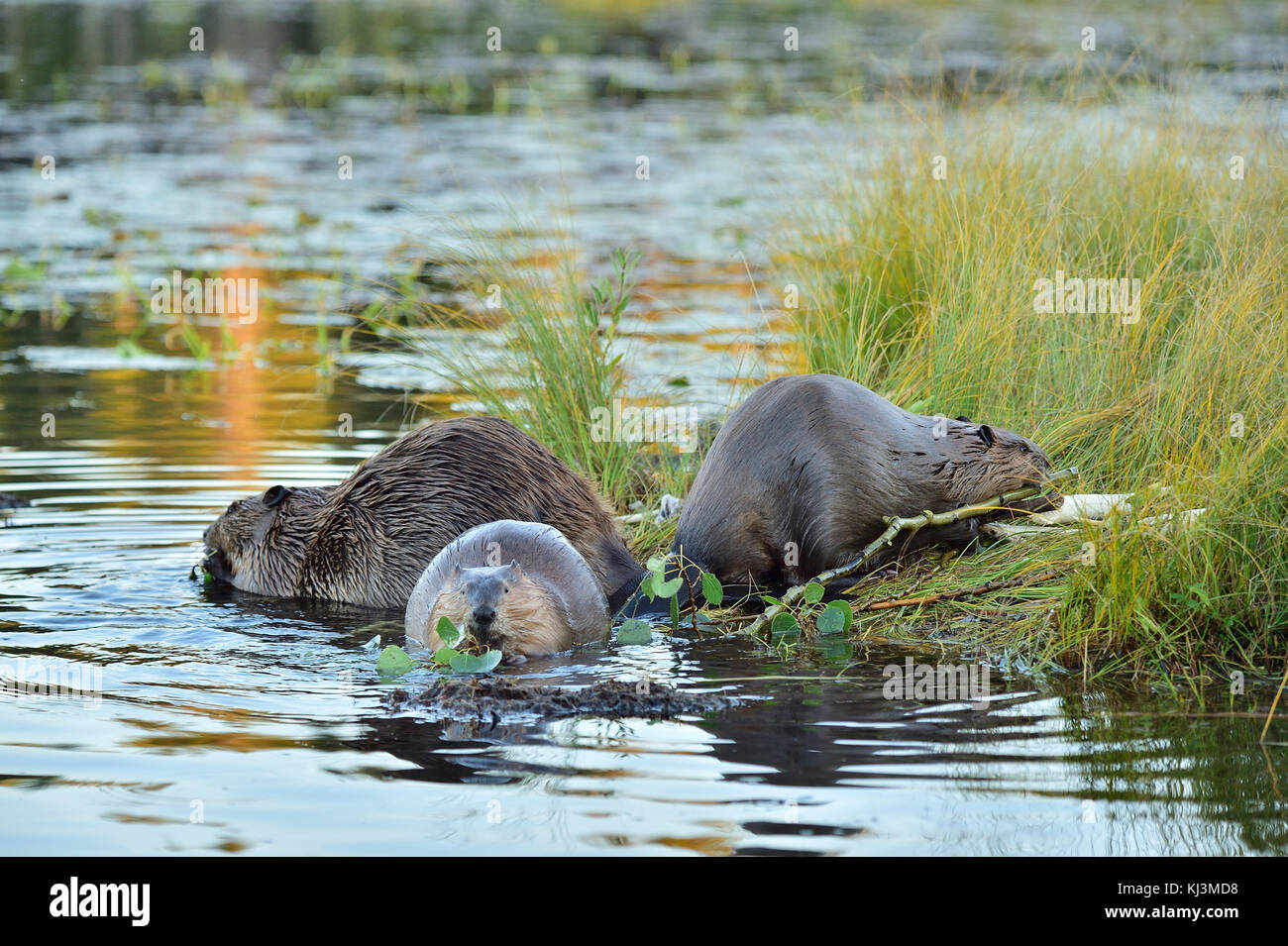 Three wild beavers  (Canada; Canadensis); feeding on a grassy spot on the shore of Maxwell Lake in Hinton Alberta - Stock Image