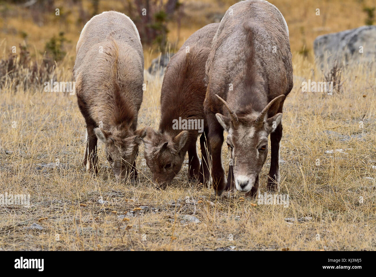 A mother Bighorn Sheep and two kids  (Ovis canadensis) feeding on some dry grass in Jasper National Park Alberta, - Stock Image