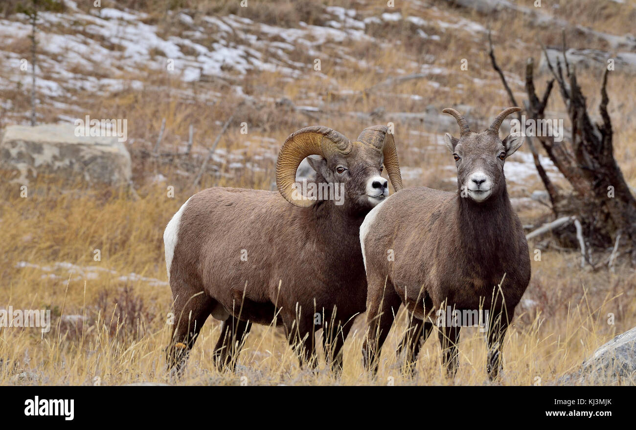 Two Bighorn sheep (Ovis canadensis), male and female standing in tall grass in Jasper National Park, Alberta Canada. - Stock Image