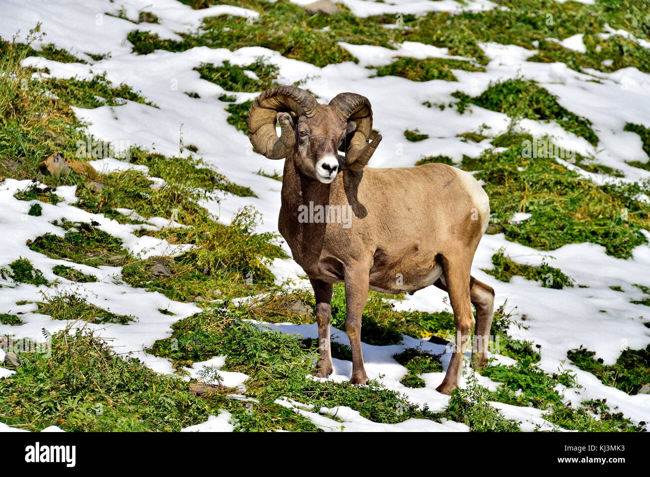 A mature full curl adult Bighorn ram (Ovis canadensis); standing in the lush vegetation on a hillside near Cadomin - Stock Image